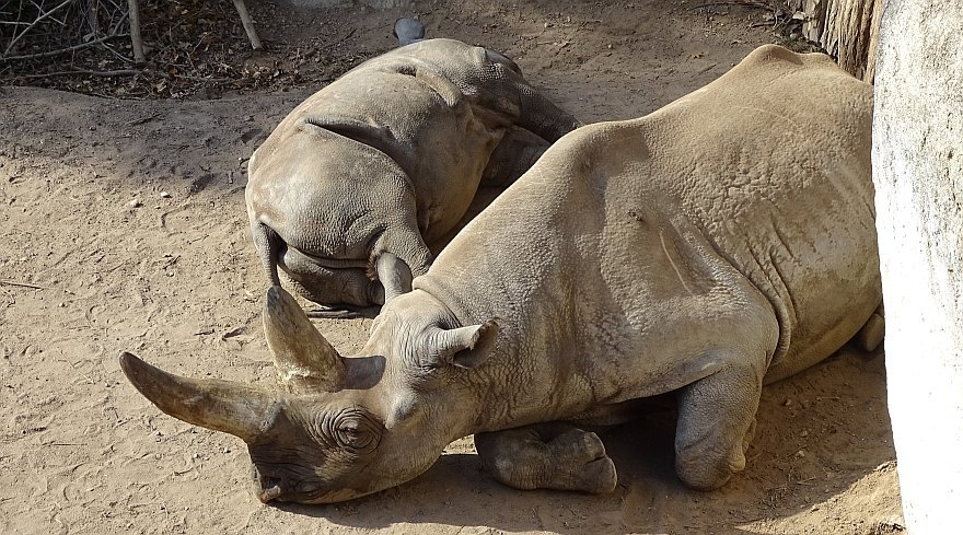 Zoo Leipzig - Nashorn - Mutter und Kind (Foto: G. Silex, 2018)